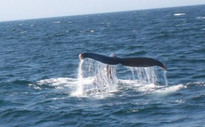 Whale-Tail-1000